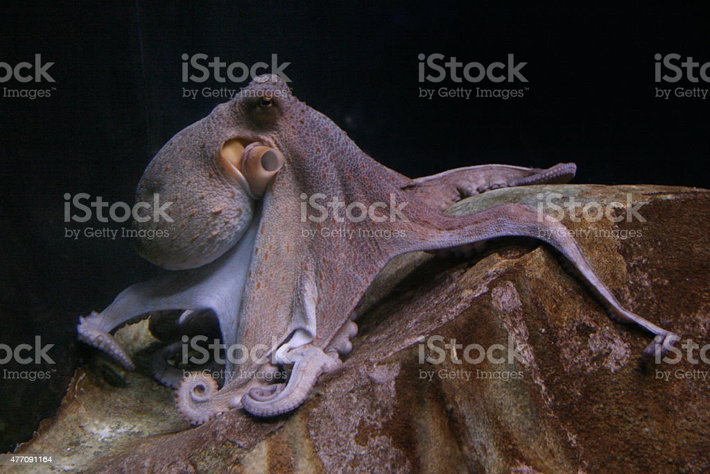 isolated octopus lying on a stone stock photo