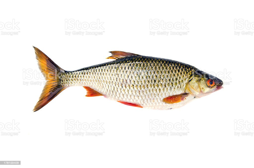 isolated on white fresh fish roach royalty-free stock photo