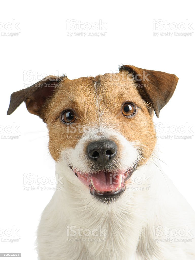 Isolated on white portrait of Jack Russell Terrier dog pet stock photo