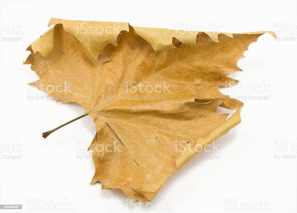 Isolated orange Autumn leaf against white background stock photo