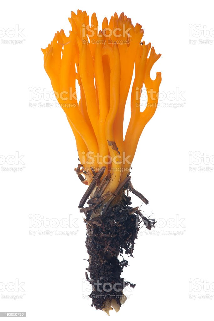 isolated orange coral fungi stock photo