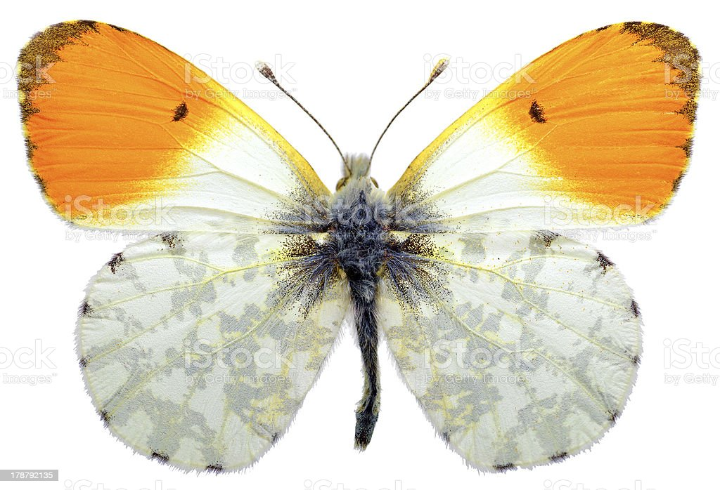 Isolated orange tip butterfly royalty-free stock photo