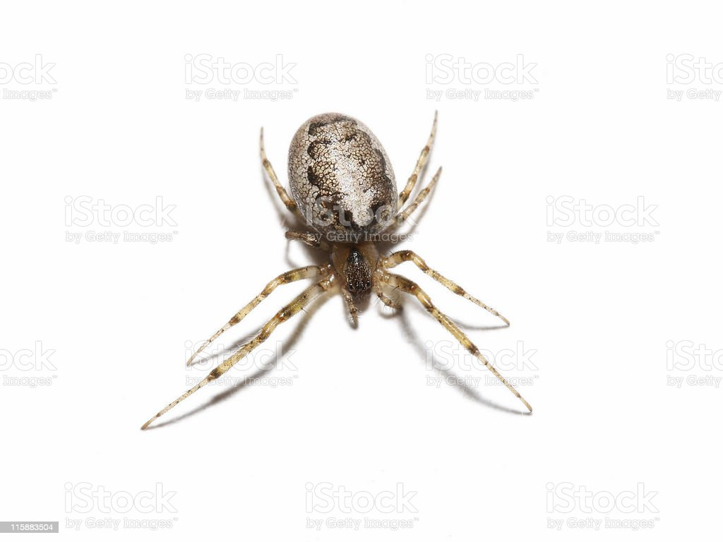 Isolated orb spider 1 royalty-free stock photo