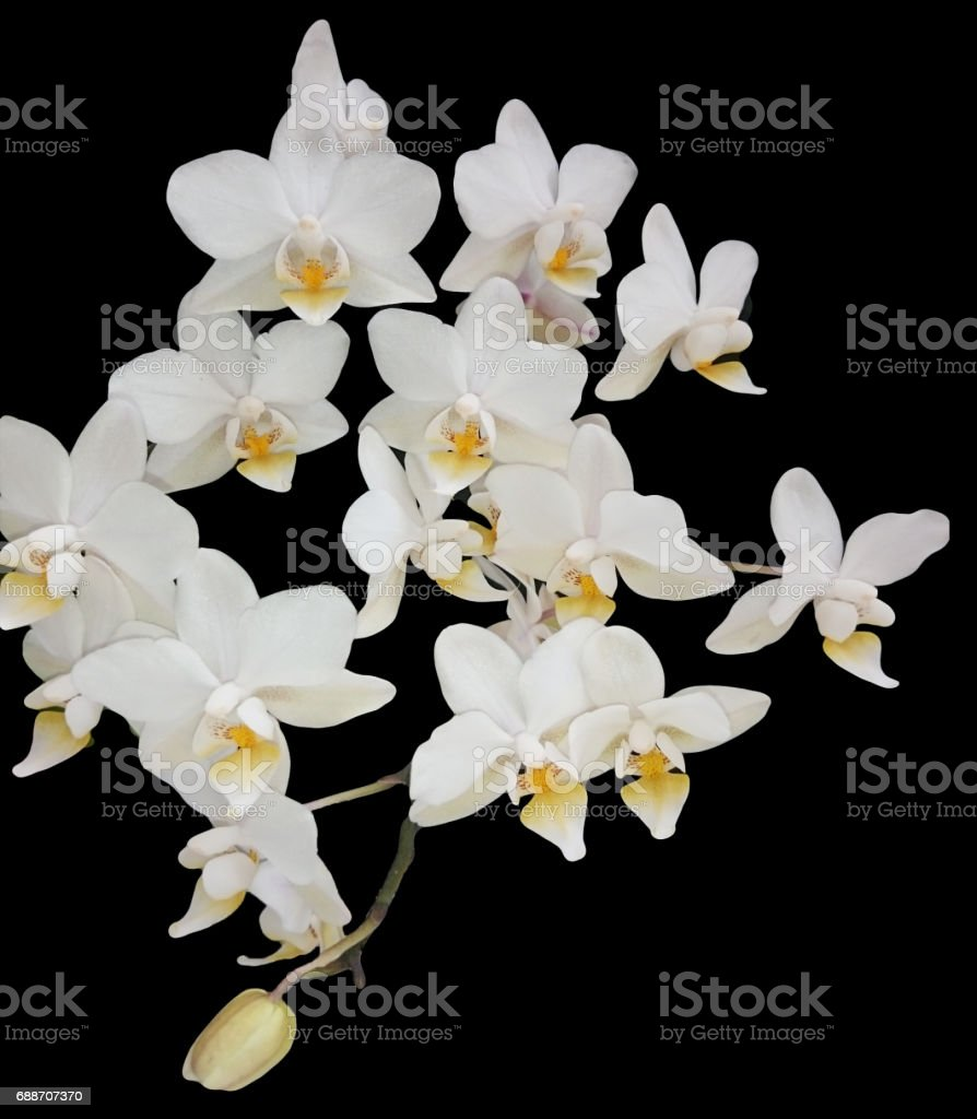 Isolated orchids flower mini white phal. Rare moth orchid hybrid Timothy Christhopher. White mini flowers on black background. stock photo