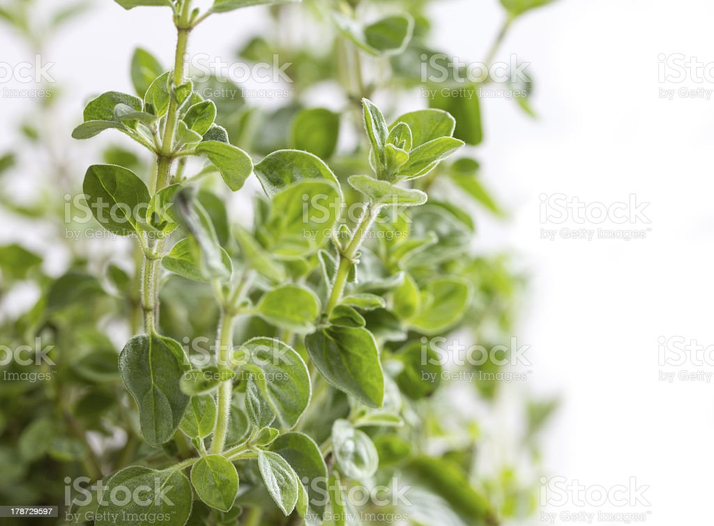 isolated oregano spice stock photo