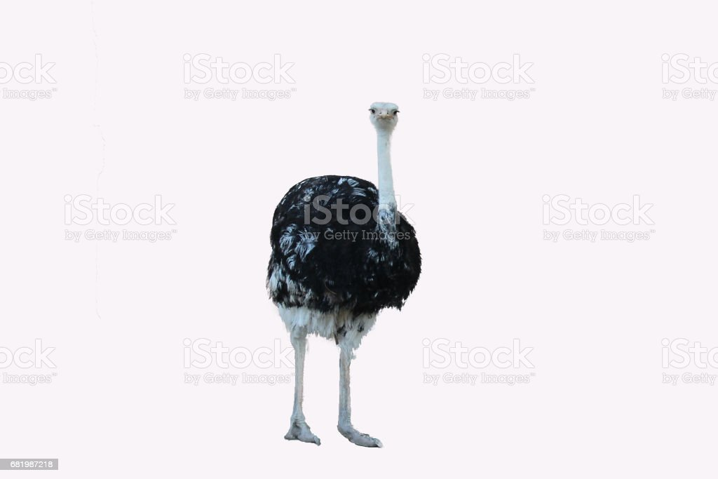 isolated ostrich on the white background stock photo