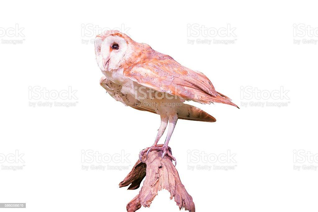 isolated owl Lizenzfreies stock-foto