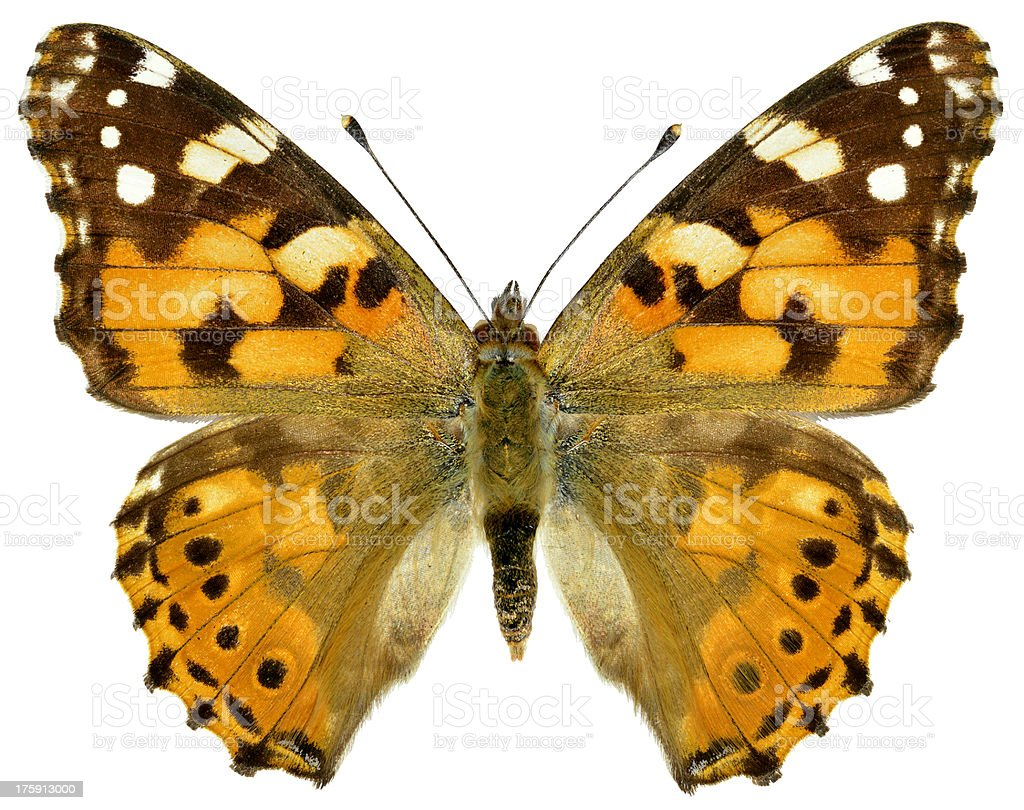 Isolated painted lady butterfly stock photo