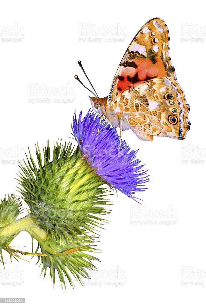 Isolated Painted Lady on thistle stock photo