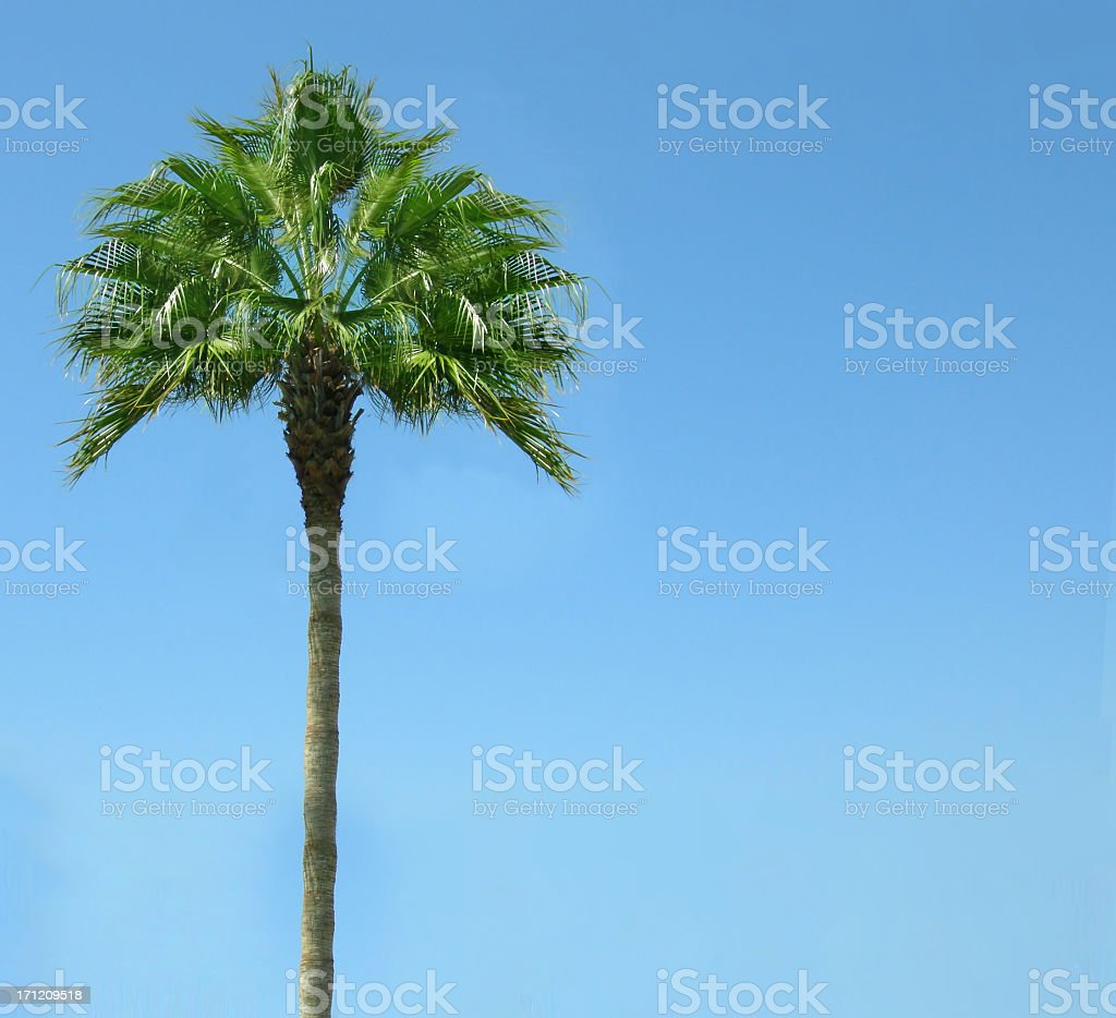 Isolated Palm tree against clear blue sky stock photo