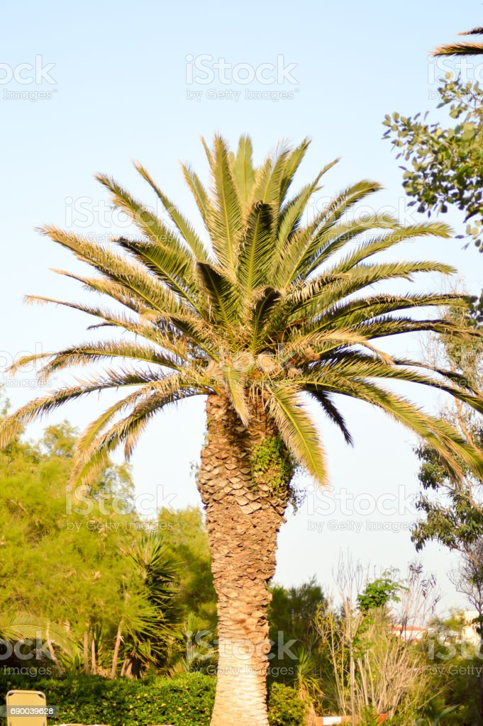 Isolated palm tree in a garden stock photo