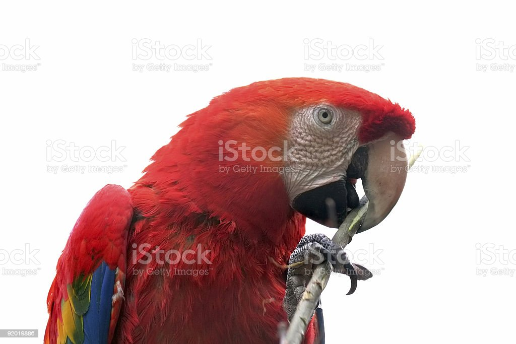 isolated parrot royalty-free stock photo