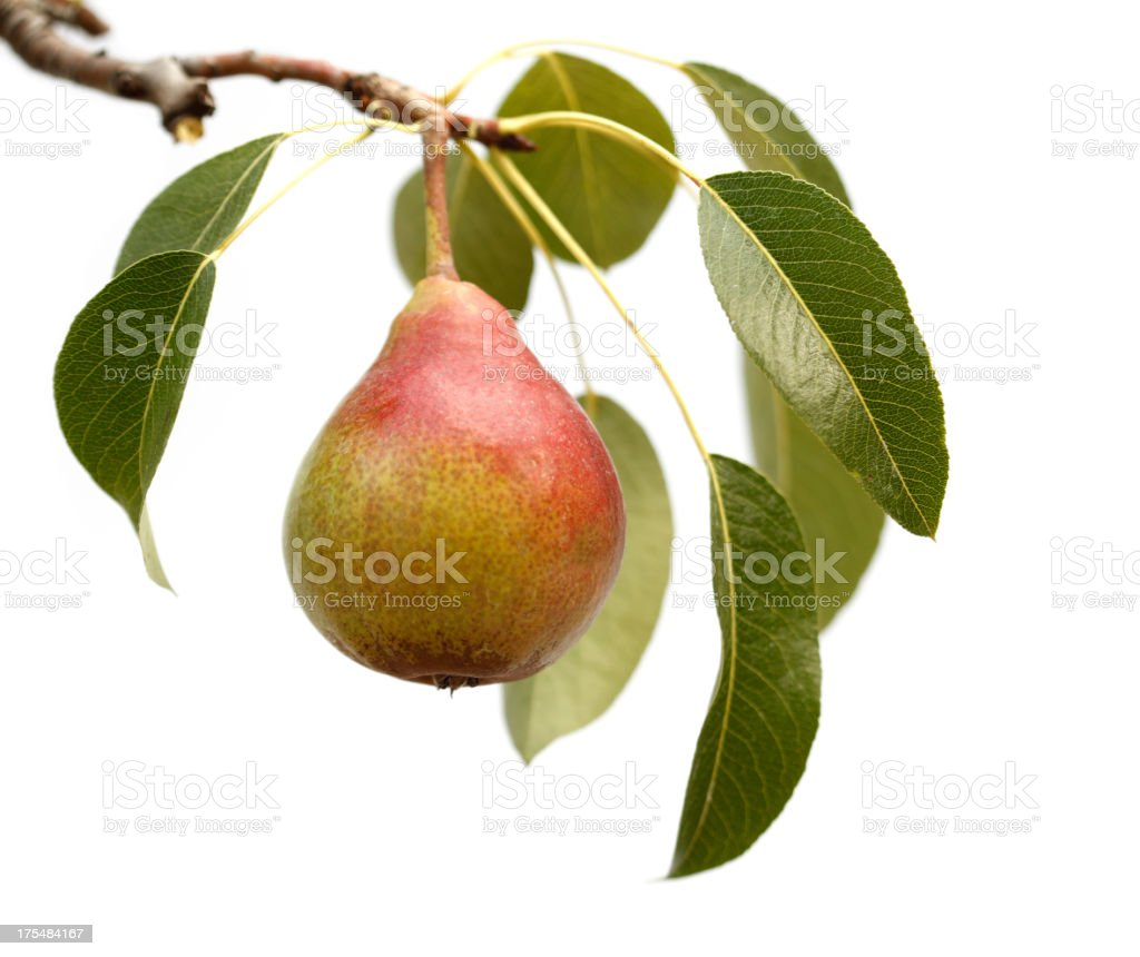 Isolated Pear stock photo