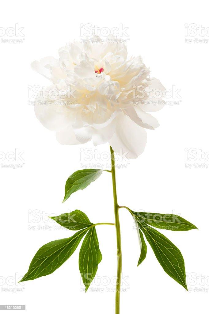 Isolated peony flower stock photo