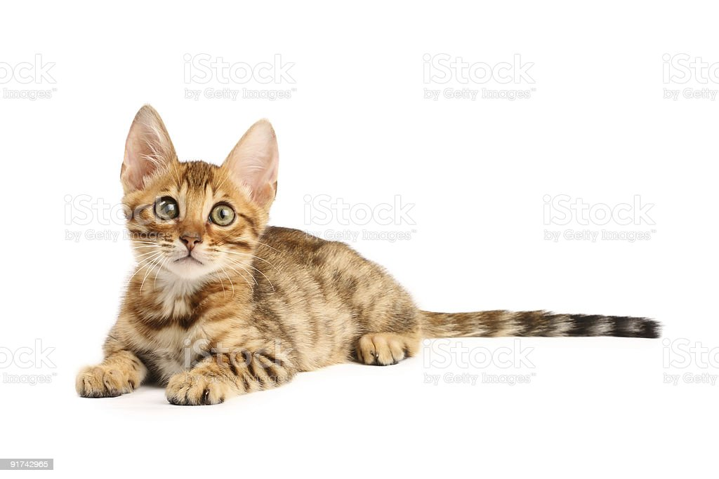 Isolated photo of a Bengal kitten royalty-free stock photo