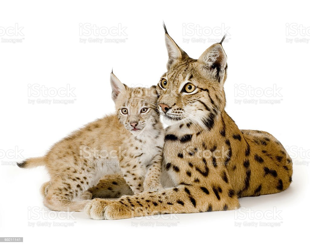 Isolated photo of a lynx and her cub royalty-free stock photo