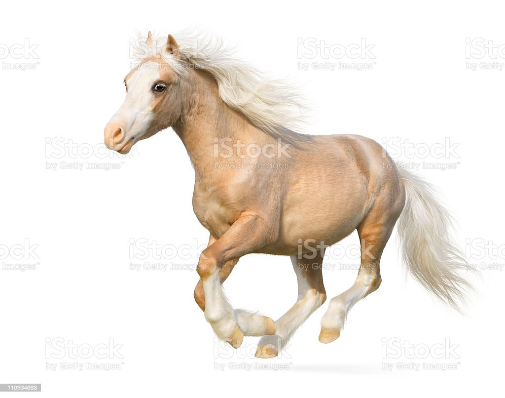 Isolated photo of a Welsh palomino pony in full gallop stock photo