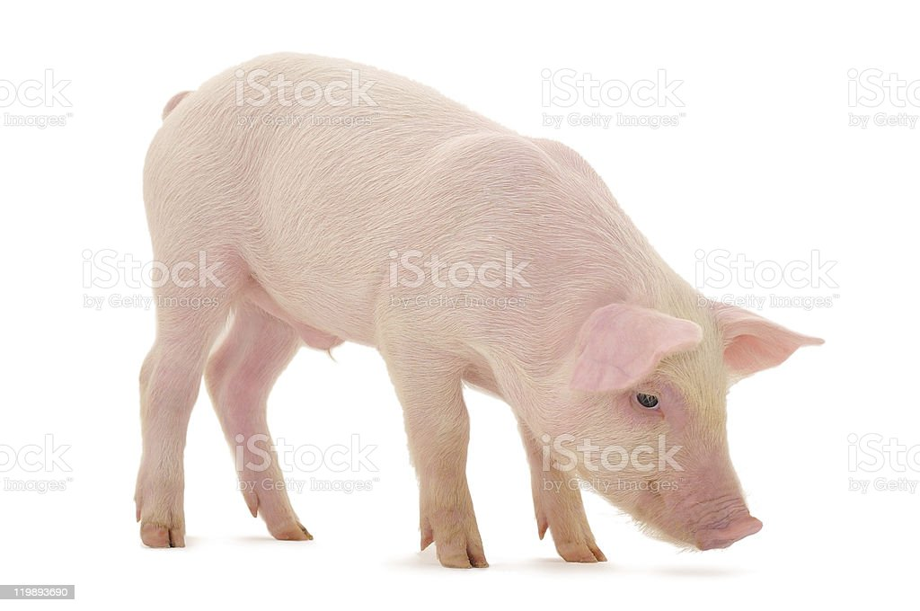 Isolated picture of a baby pig stock photo
