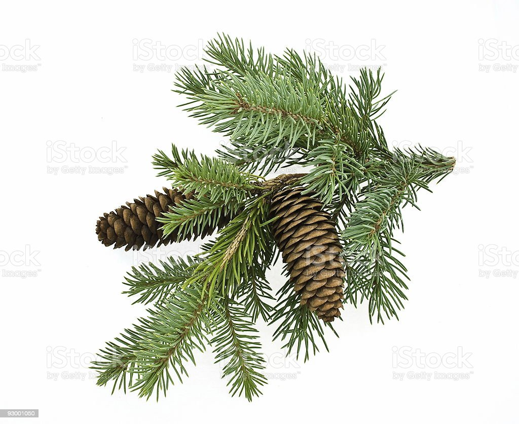 Isolated picture of a fir tree branch stock photo