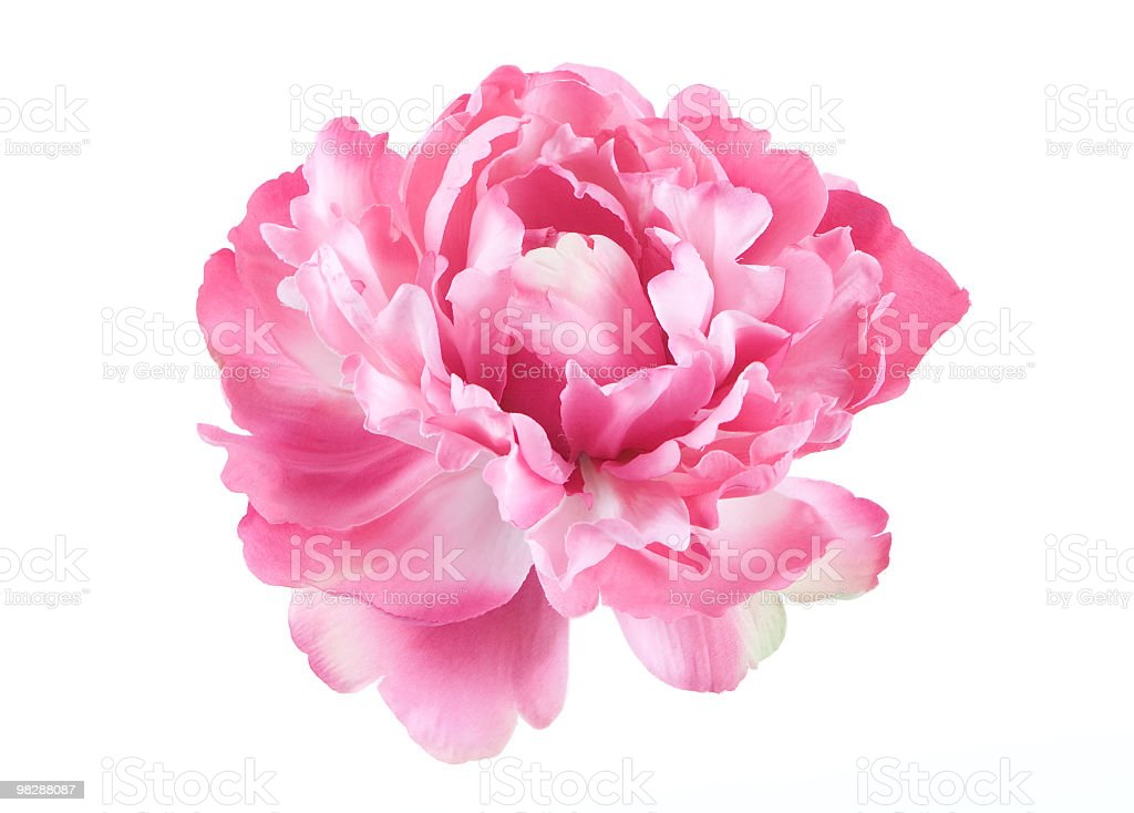 Isolated picture of a pink Peony flower stock photo
