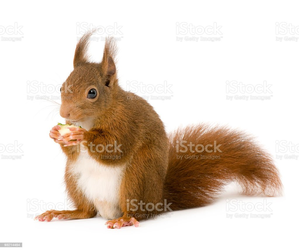 Isolated picture of an Eurasian red squirrel stock photo