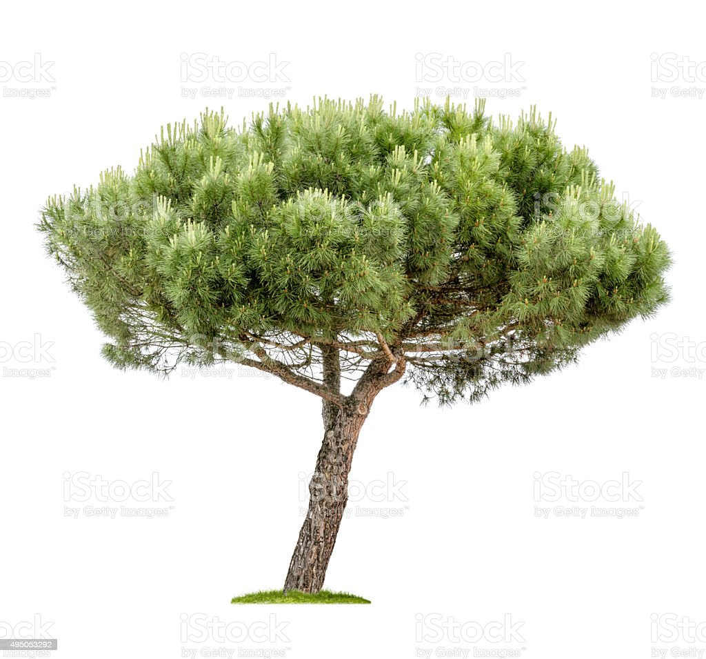 isolated pine tree on a white background stock photo