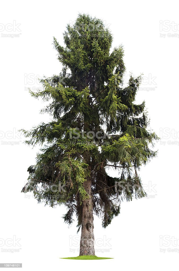 Isolated Pine Tree stock photo
