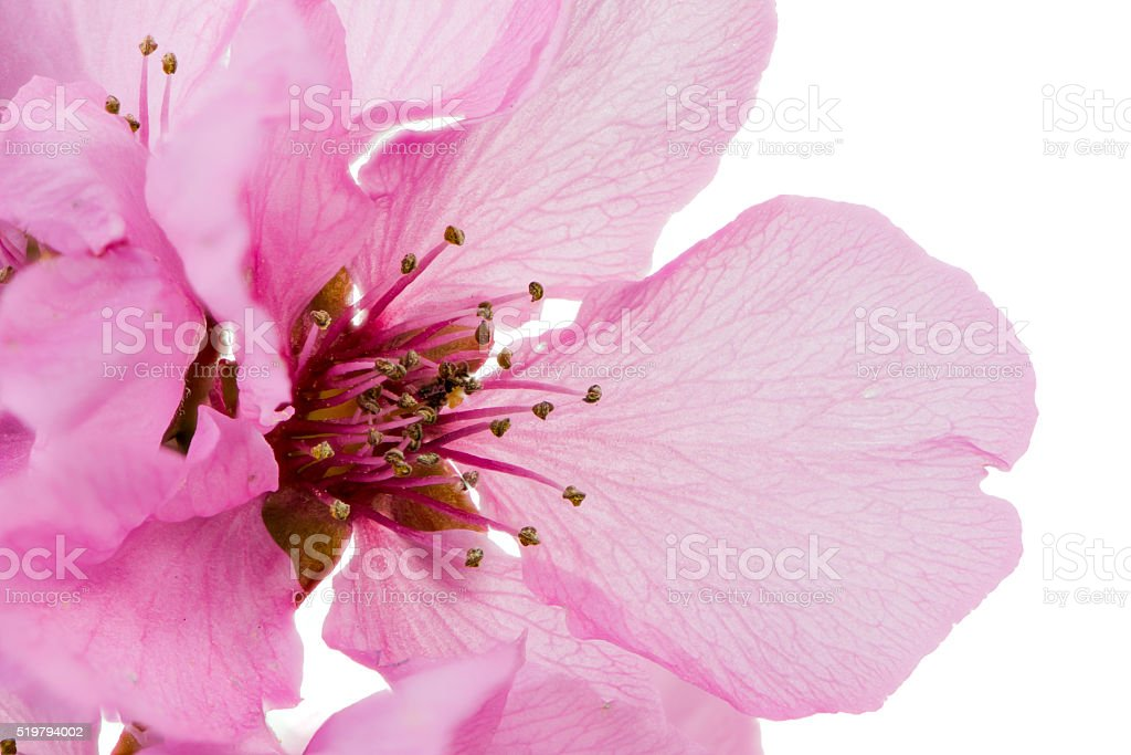 Isolated pink peach blossom stock photo