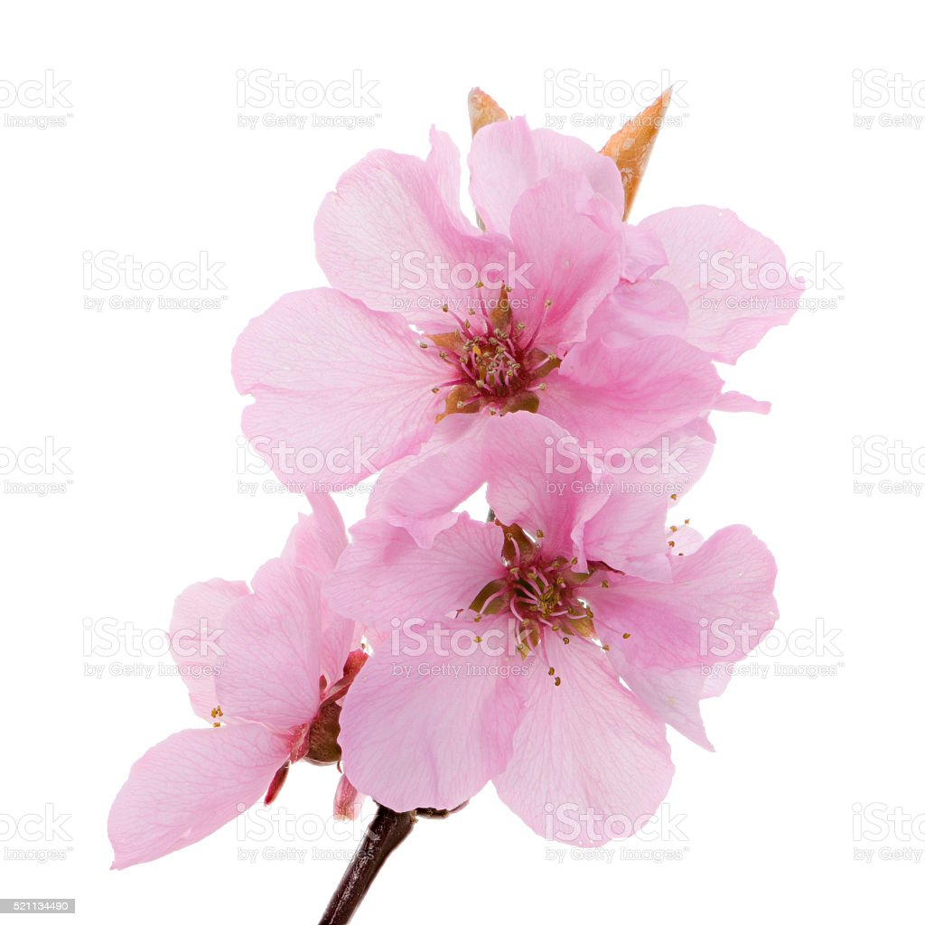 Isolated pink peach blossoms stock photo