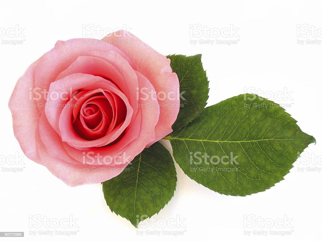 Isolated pink rose with green leaf royalty-free stock photo