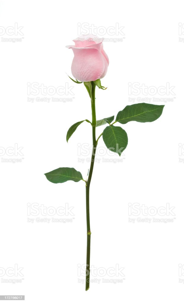 Isolated Pink Rose XL stock photo