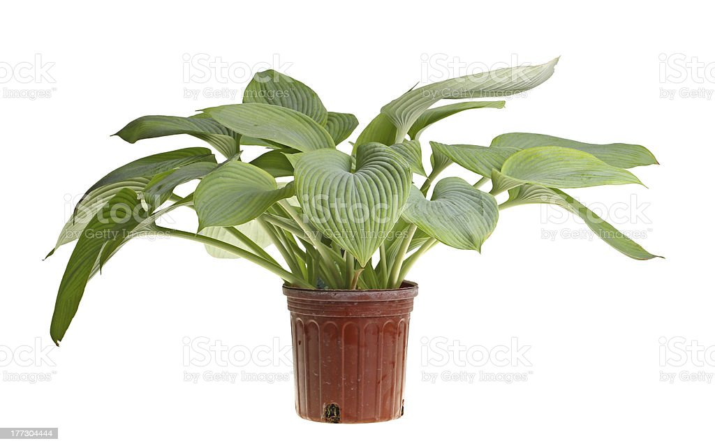 Isolated plant of a blue hosta stock photo