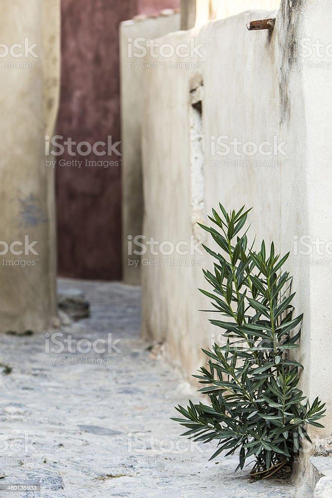 isolated plant on footpath of Monemvasia stock photo