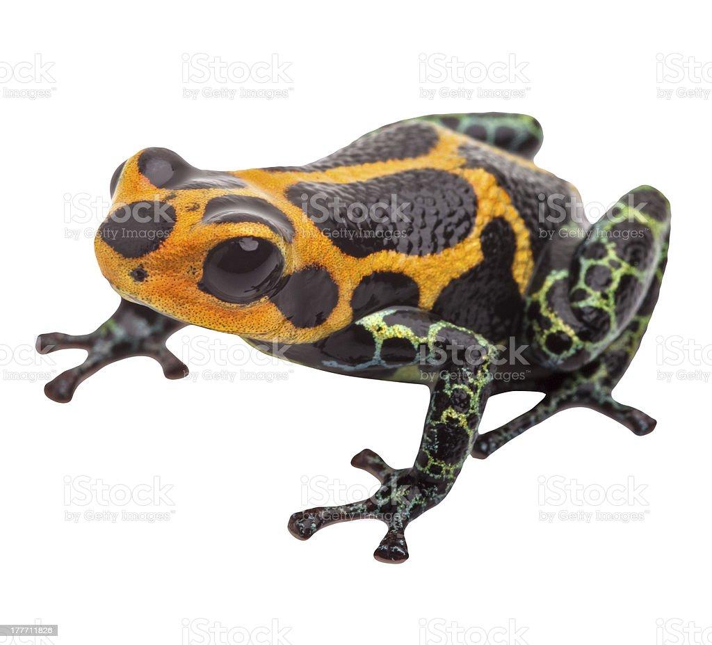 Isolated poison dart frog stock photo
