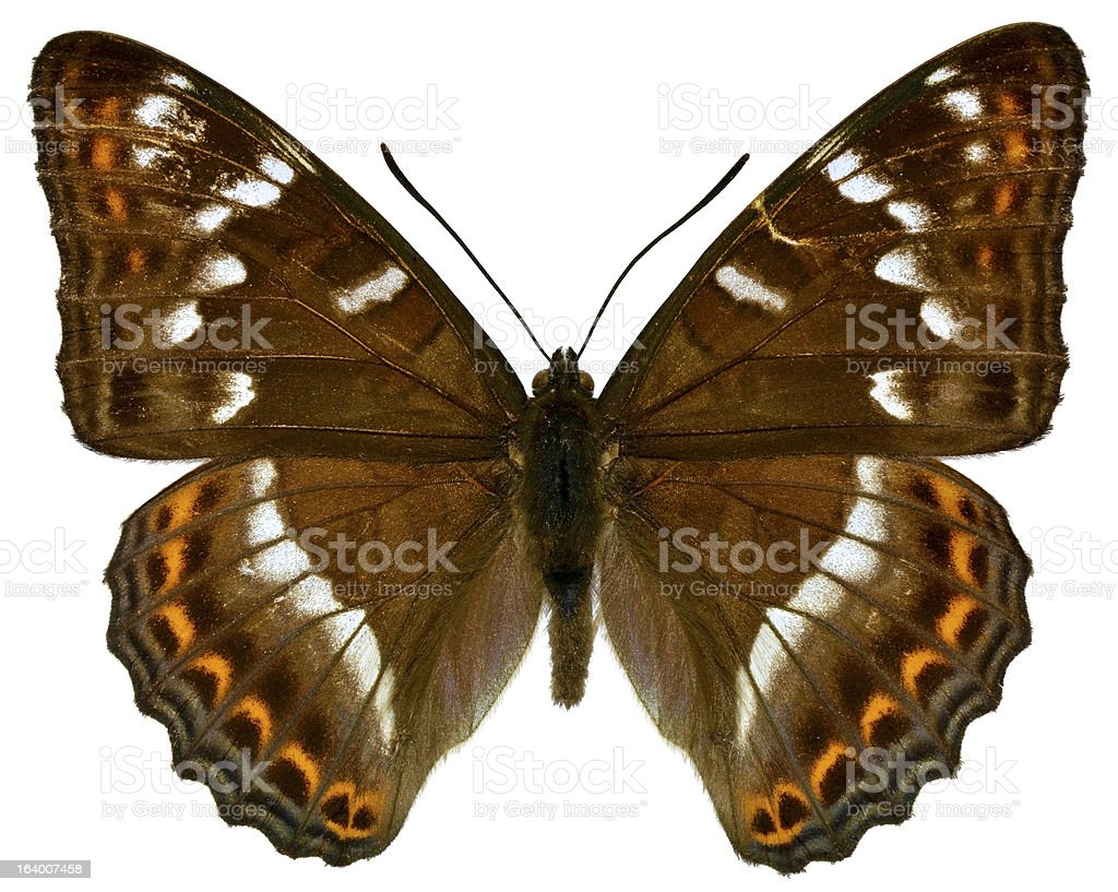 Isolated Poplar Admiral butterfly royalty-free stock photo