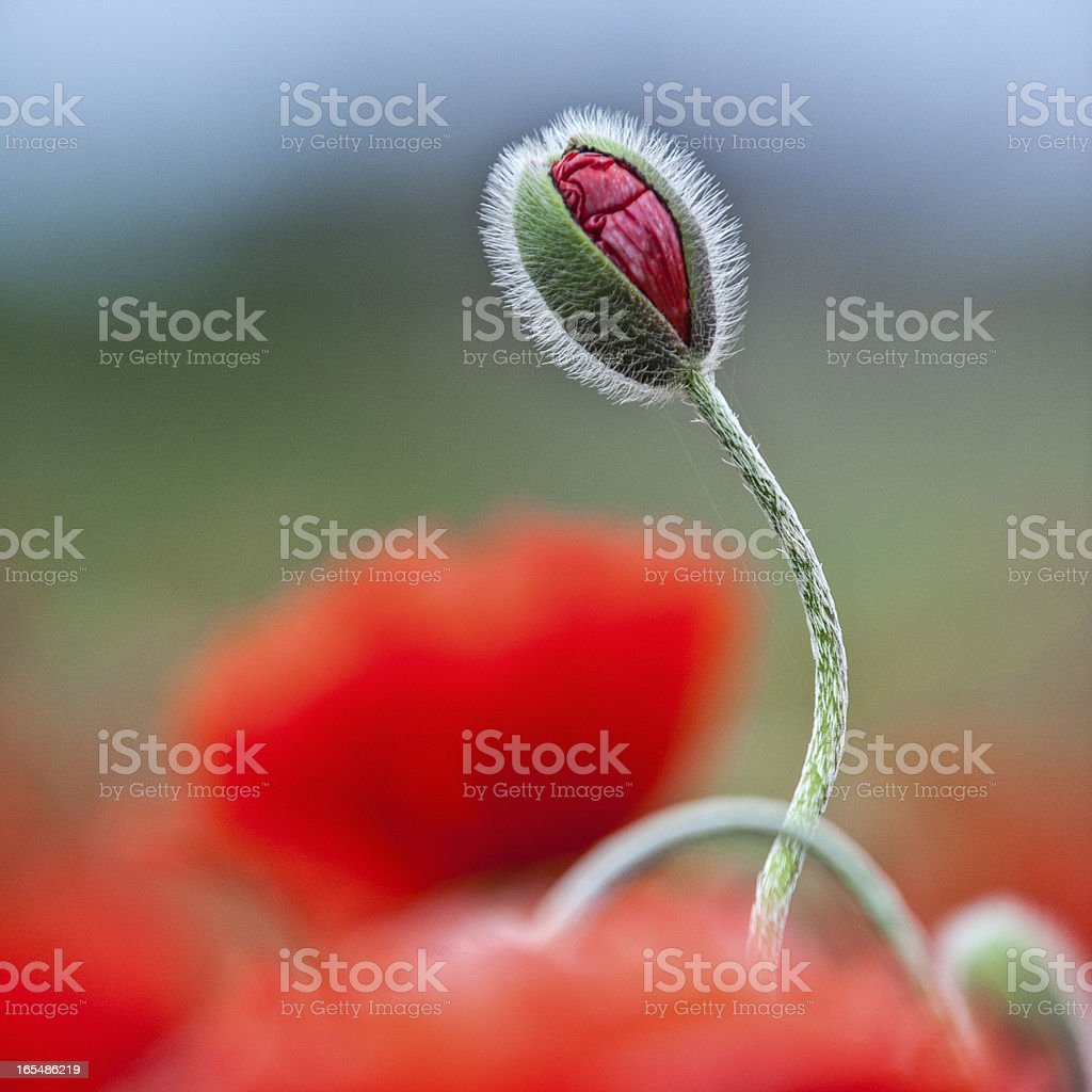 Isolated poppy in bud royalty-free stock photo