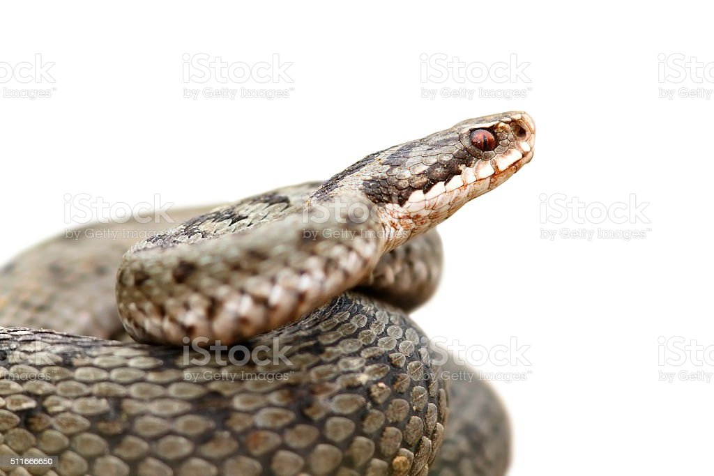 isolated portrait of common female european adder stock photo