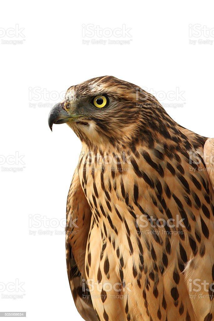 isolated portrait of  eurasian sparrowhawk stock photo