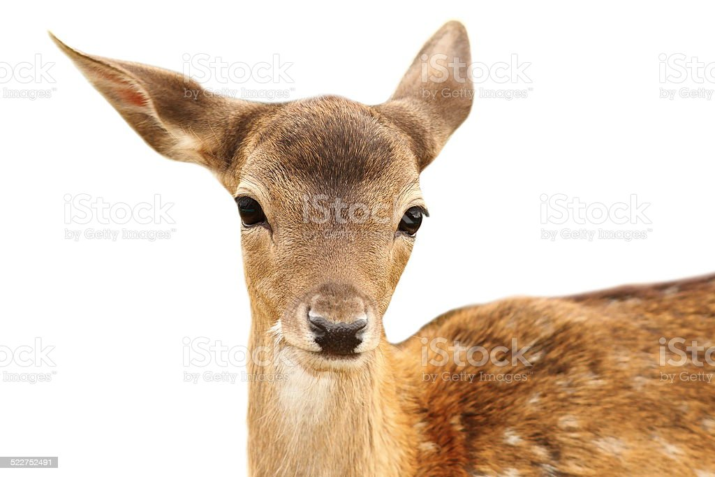isolated portrait of fallow deer calf stock photo