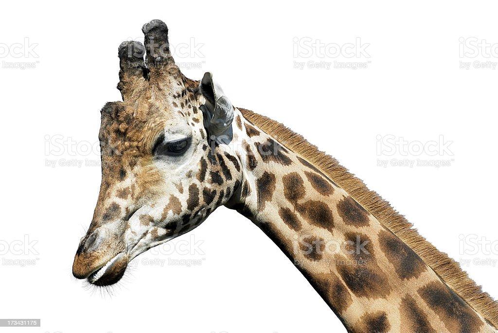 Isolated portrait of giraffe royalty-free stock photo