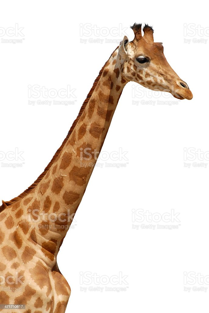 Isolated portrait of giraffe royalty-free stock photo