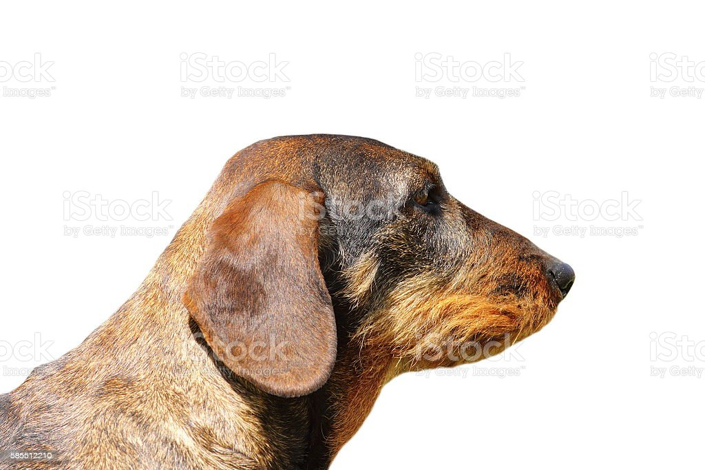isolated portrait of teckel dog stock photo