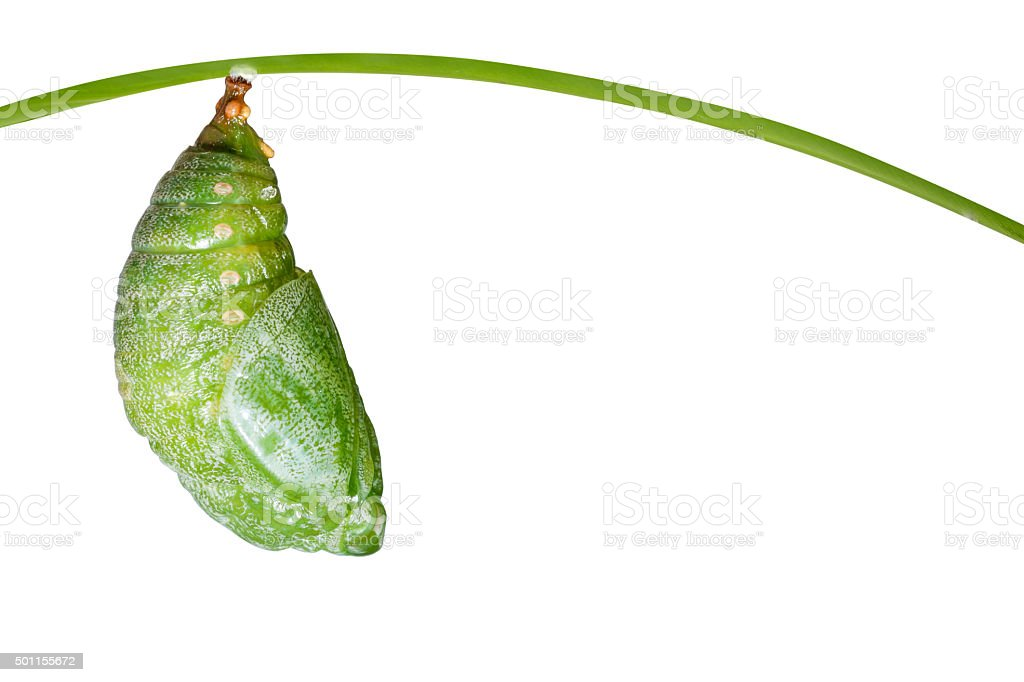 Isolated pupa of Tawny Rajah butterfly stock photo
