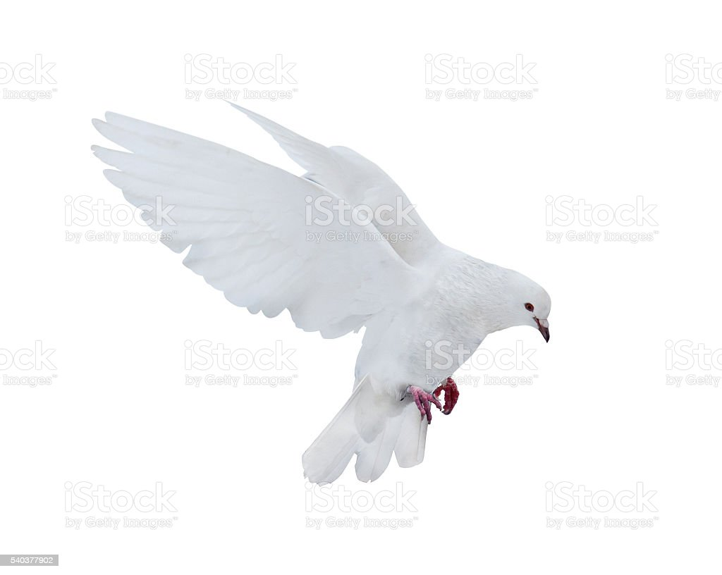 isolated pure white dove stock photo