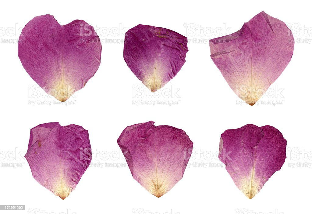 Isolated Purple & Pink Petals XXL royalty-free stock photo
