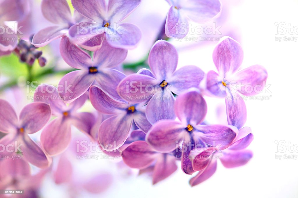 Isolated Purple Lilac on what background royalty-free stock photo
