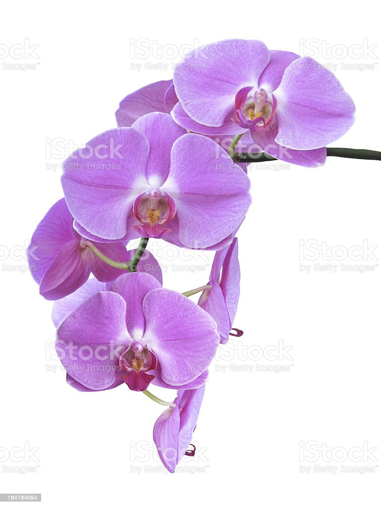 Isolated Purple Orchid Branch stock photo