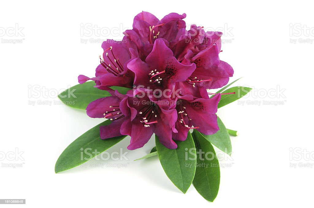 isolated purple Rhododendron stock photo