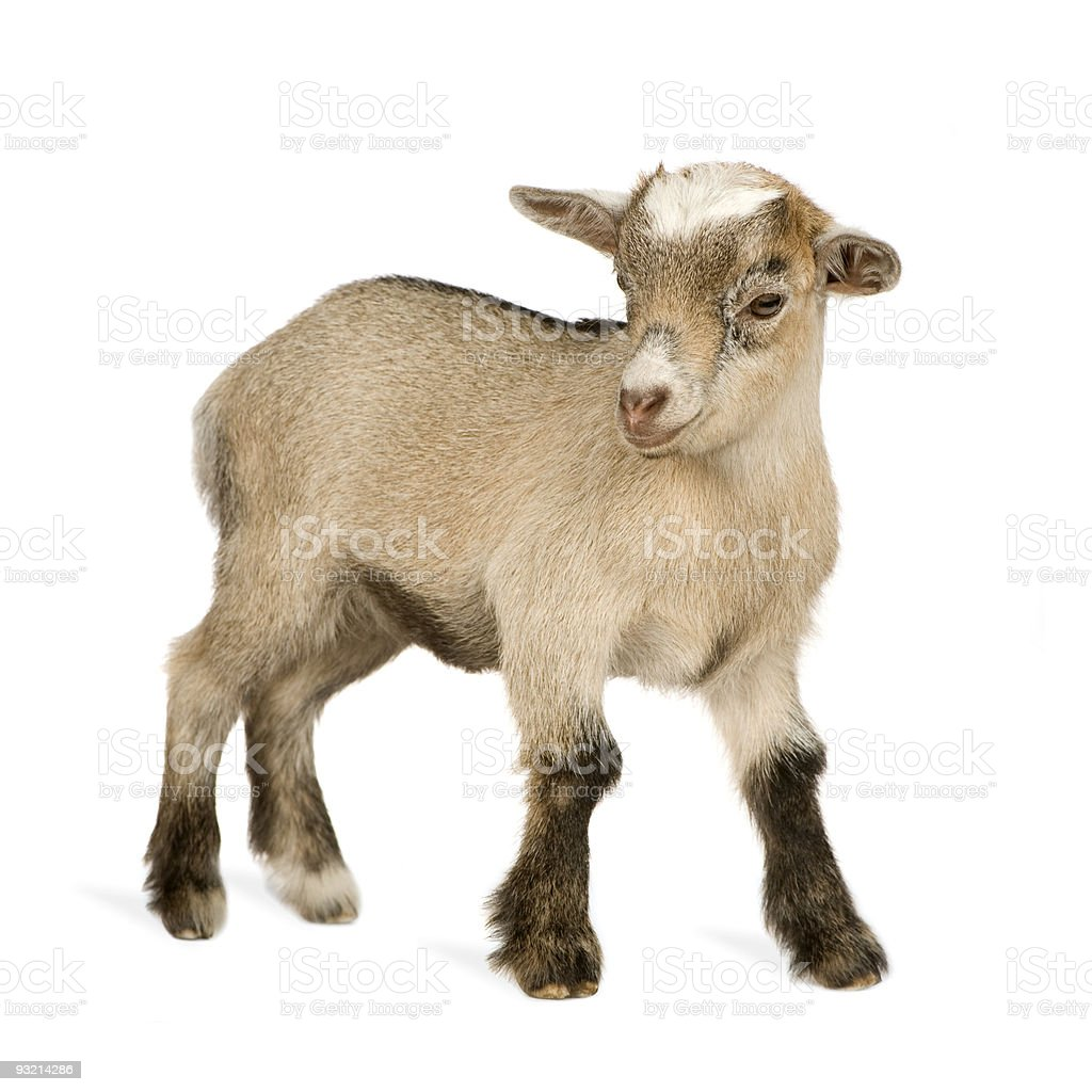 Isolated Pygmy goat on white background stock photo