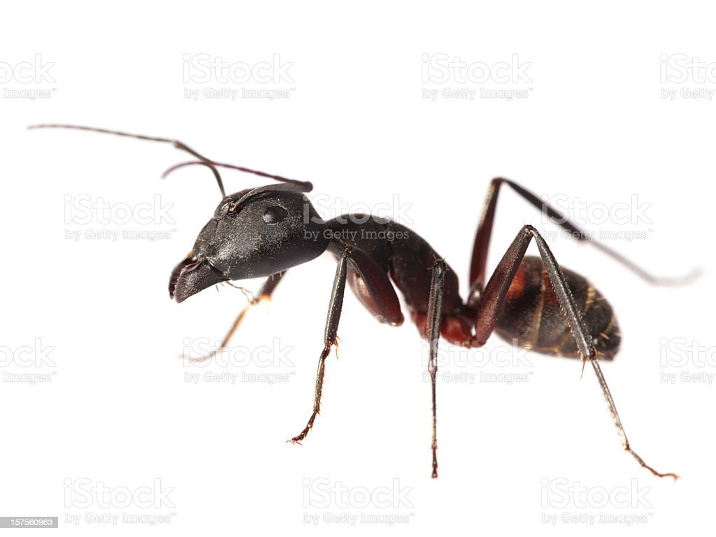 Isolated Red Ant (XXL) stock photo
